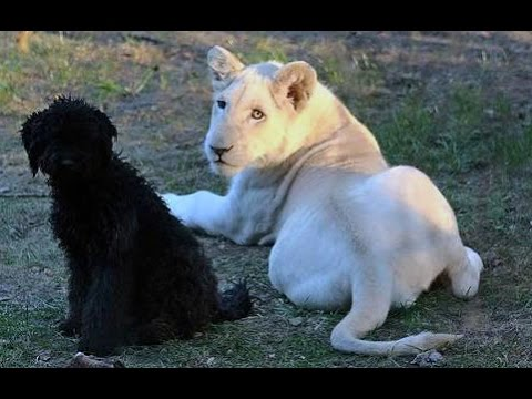 Shumba The White Lion Baby and Cute Dog Playing Together - Animal Friendship
