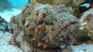 ОПАСНОСТЬ Красного Моря – рыба-камень или бородавчатка!(У песчаных пляжей, коралловых рифов и скалистых берегов живет еще одно существо, с которым лучше не встреча..., 2015-05-24T08:43:12.000Z)