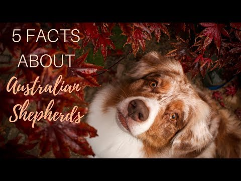 5 Things to Know Before Getting an Australian Shepherd