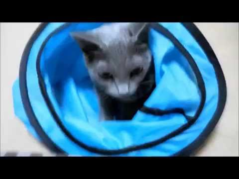 "Russian Blue cat's story ""My cat runs through the blue  tunnel and catches the mouse."""