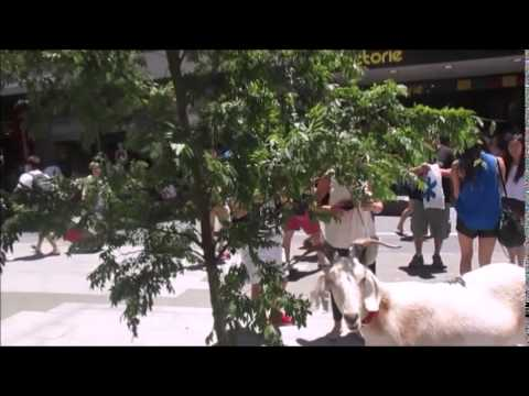 Gary the goat goes to Adelaide Mall