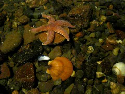 Starfish VS. Scallop