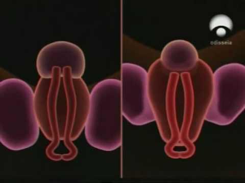 Formacion de los organos genitales - YouTube