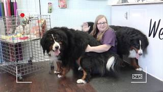 Bernese mountain dog grooming w haircut (owner request)