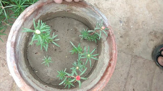 How to grow portulaca from cutting care and tips || portulaca seedlings update