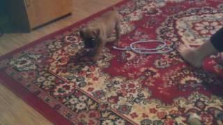 Активный маленький щенок породы собаки Боксер