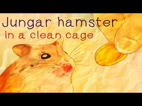 Jungar hamster in a clean cage