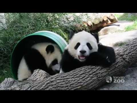 First Year of Toronto Zoo's Giant Panda Cubs - Jia Panpan and Jia Yueyue