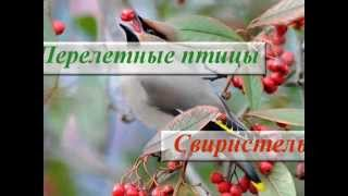 Перелетная птица Свиристель ♪ Фото ♪ Описание ♪ Пение