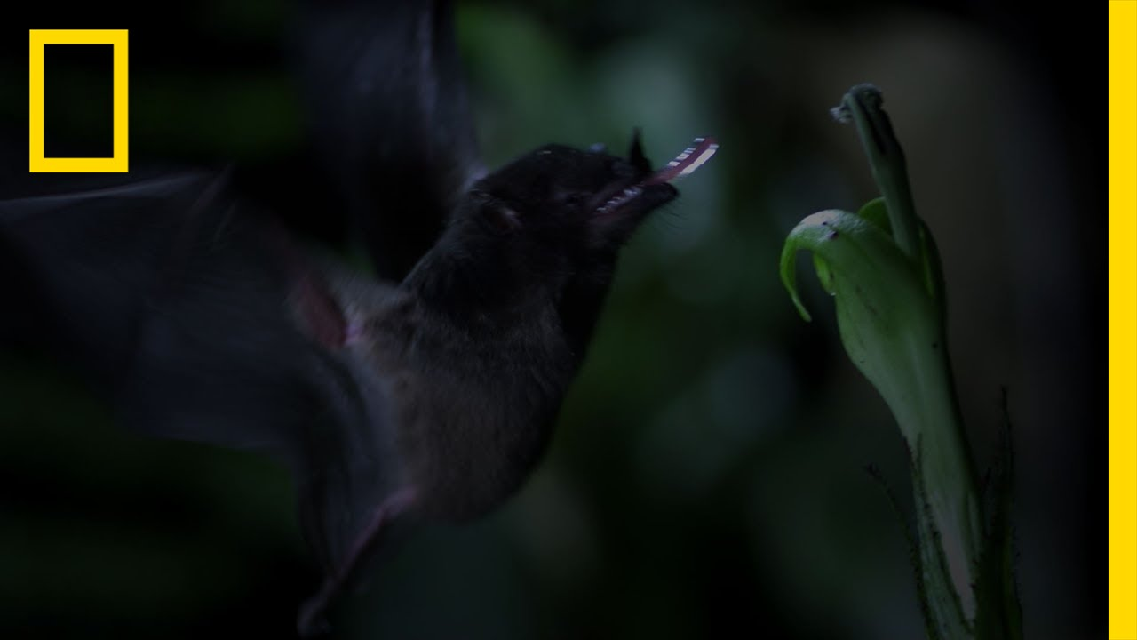 Tube-Lipped Nectar Bat | Untamed Americas