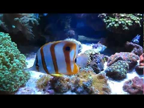 Longnose And Copperband Butterfly Fish In Reeftank.mp4