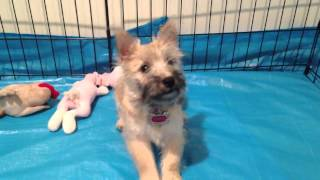Tessa Sit And Down Cairn Terrier Puppy