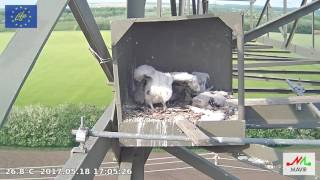 Video Saker Falcon Hungary 2017 05 18 It's warm and stretching download MP3, 3GP, MP4, WEBM, AVI, FLV November 2017