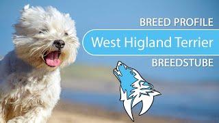 West Highland White Terrier Breed, Temperament & Training