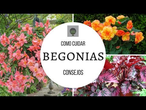 COMO CUIDAR BEGONIAS || TIPS DE UN CORRECTO CULTIVO