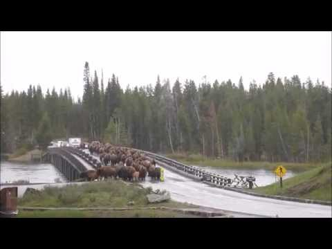Yellowstone Bison Crossing Bridge
