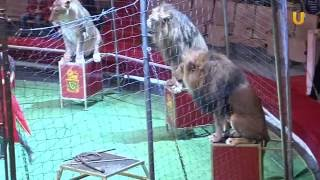 """Глазами животных #242. Цирк """"Легенды Африки"""", львы"""