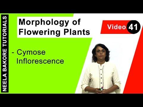 Morphology of Flowering Plants - Cymose Inflorescence