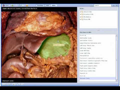 Interactive Thorax and Abdomen Human Anatomy in 3D - YouTube