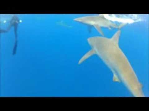 Snorkel with Galapagos Shark in Oahu - Hawai'i