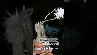 Echinopsis mirabilis #cactusbloom #shorts