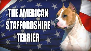 A QUICK LOOK AT THE AMERICAN STAFFORDSHIRE TERRIER