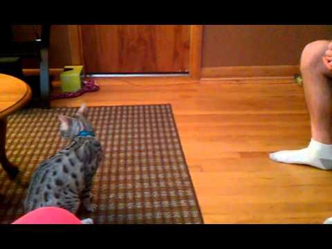 Savannah kittens doing tricks