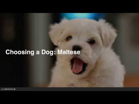 Maltese - Dog Profile from PetBreeds.com
