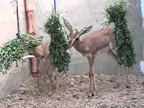 Chinkara Deer for sale Qurban Bhai Karachi