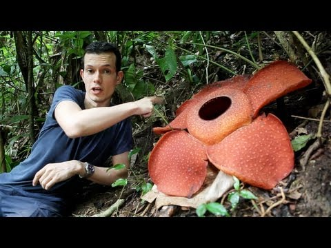 The biggest flower in the world — botanist gets up close with Rafflesia!