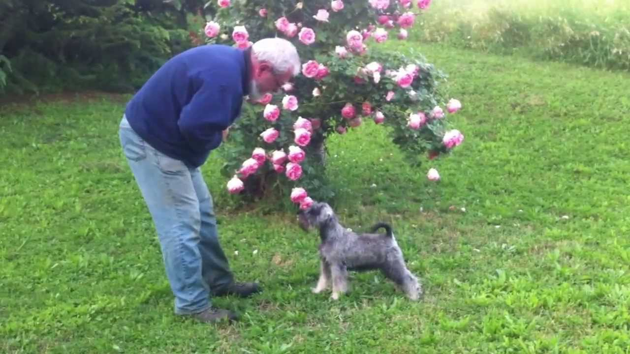 Train a miniature schnauzer