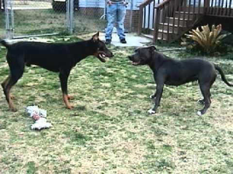 Blue cane corso mastiff puppies