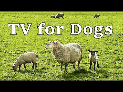 TV for Dogs - Calming Dog Watch TV  - Sheep and Lambs Baaing