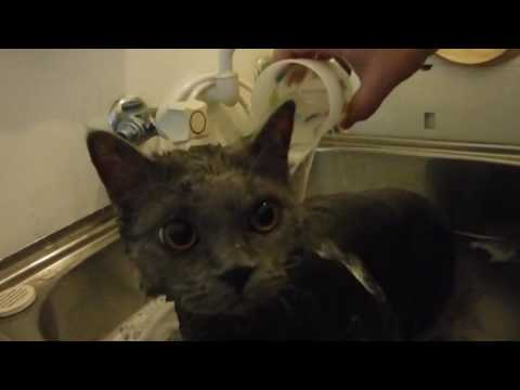 "Selkirk Rex cat, ""Regan"", in the bath - Kimmaaay's Cat"