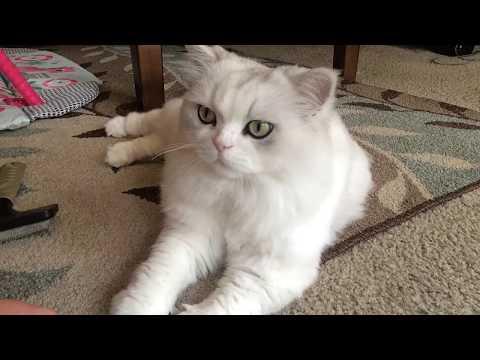 Cute Chinchilla cat SUSHI the cat