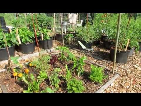 My Community Garden Plot Episode 6: Epsom Salt, Tomato Nutrients, Eggplant Flea Beetles &  Growth
