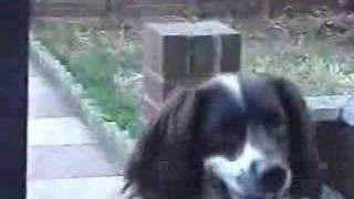 Why They Call Them 'springer' Spaniels
