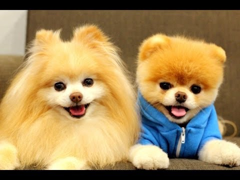 Best Boo The Cutest Dog Compilation 2014 [HD] AHF