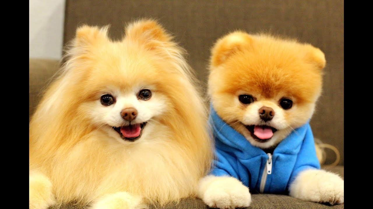 Creative Boo The Pomeranian With The Funny Haircut  Fur Babies  Pinterest