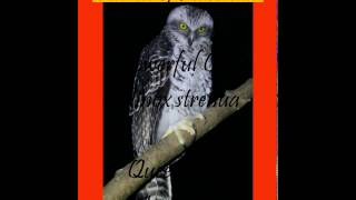Largest Owl In Australia - The Powerful Owl