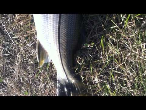 Big Freshwater Snook in Miami canal