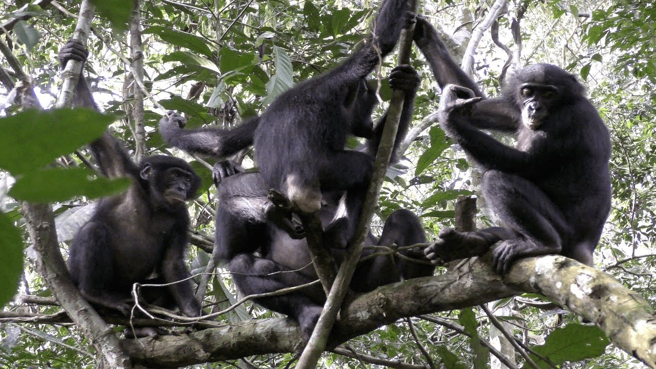 Bonobos Have Lots Of Sex, Are Awesome, May Hold Key To Our Past