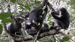 Aggressive Behaviors among Wild Bonobos!