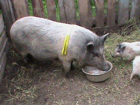 Вес корейской свинки  в год / The Weight Of A Korean Pig Per Year