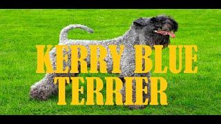 KERRY BLUE TERRIER MINI DOCUMENTARIO