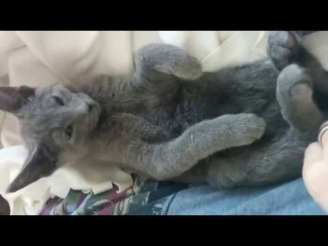 Lena the Russian Blue waking up