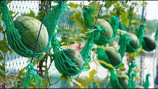 Tí hon, đỏ, ngọt, vỏ mỏng: Trồng dưa hấu treo võng   Tiny, sweet: Growing watermelon hanging hammock