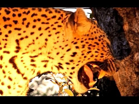 Leopard Calling For Cubs - Latest Wildlife Sightings