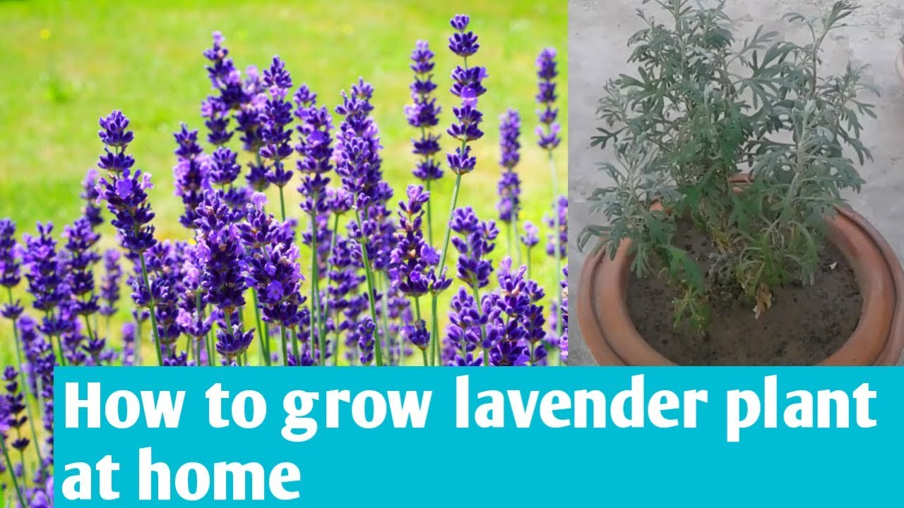 How To Grow Lavender At Home How To Care For Lavender Plant In