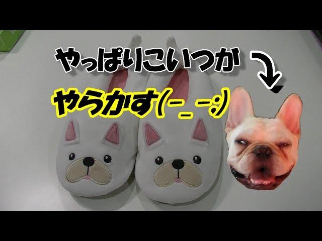 フレブル顔のスリッパ履いてみた!I tried wearing slippers on French bulldog face! ポメラニアン&フレンチブルドッグ Pomeranian & Fr